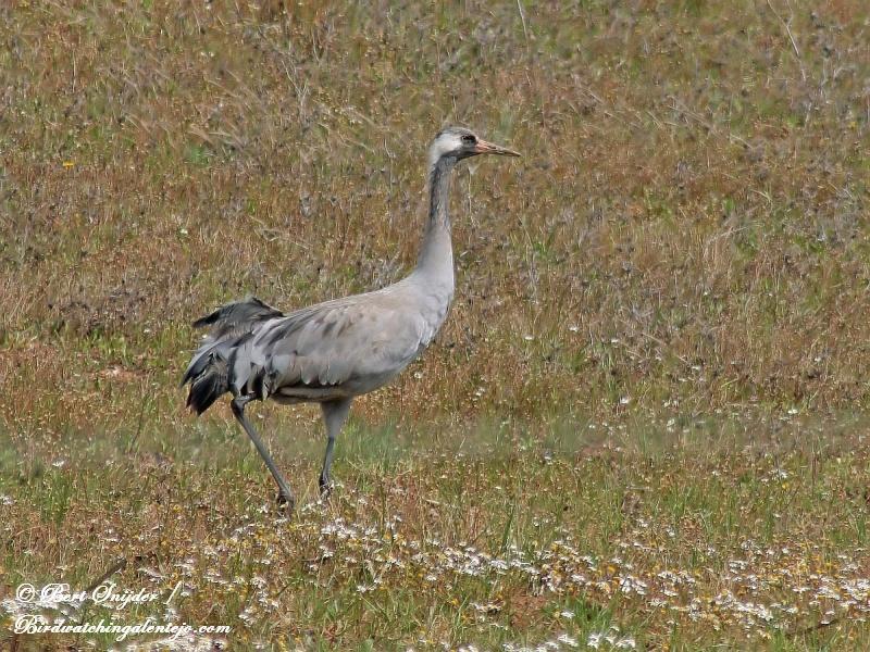 Kraanvogel Alentejo Portugal
