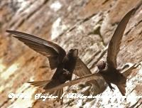 Gierzwaluw Portugal