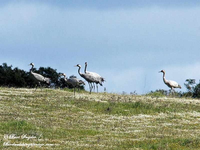 Kraanvogels Alentejo Portugal