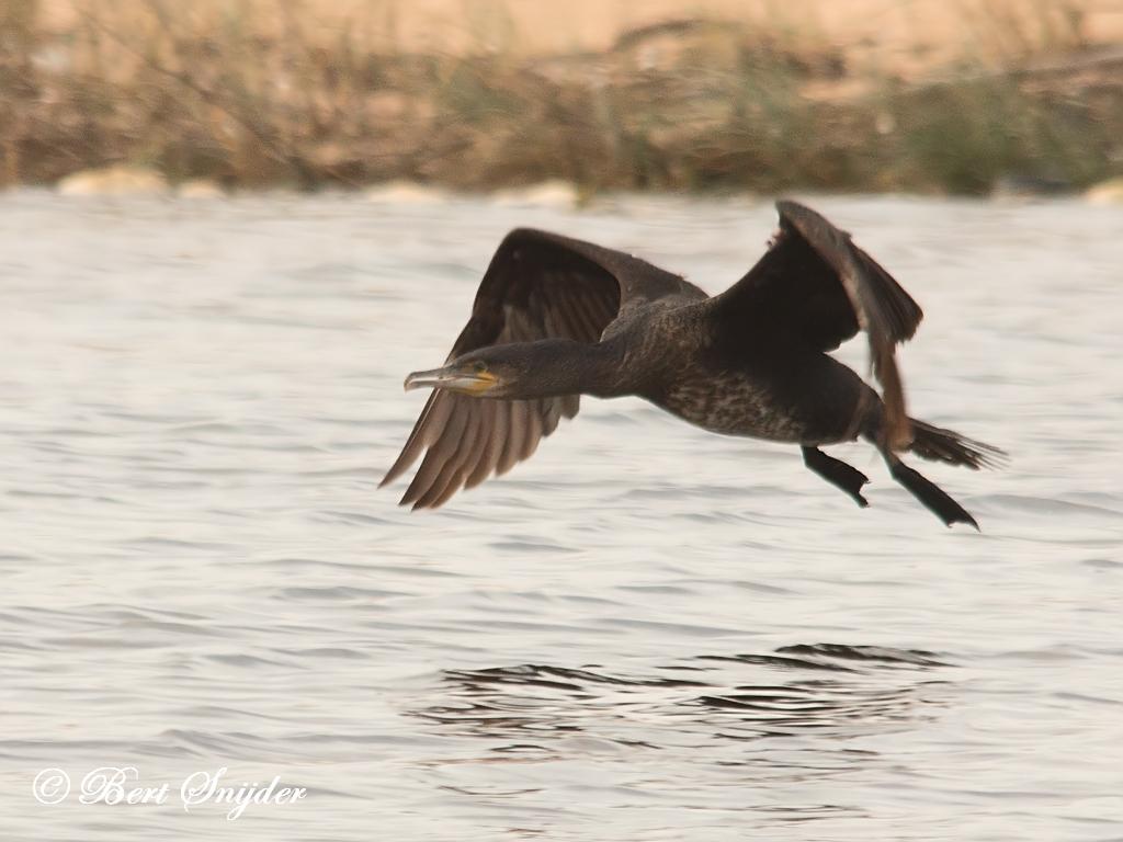 Aalscholver Vogelkijkhut BSP3 Portugal