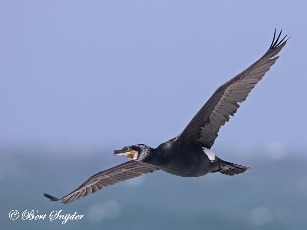 Aalscholver Vogelreis Portugal