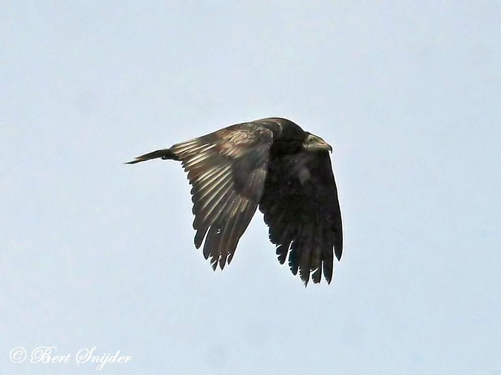 Aasgier Vogelvakantie Portugal