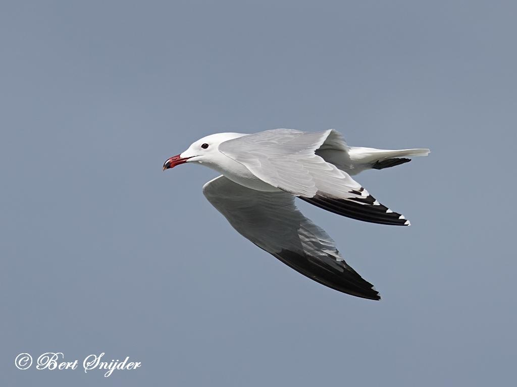 Andouin´s Meeuw Vogelreis Portugal