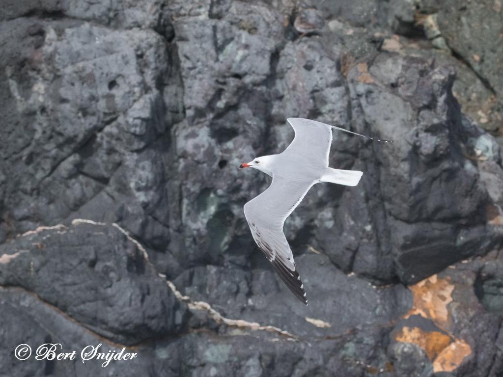 Andouin´s Meeuw Vogelvakantie Portugal