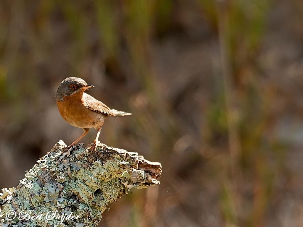 Baardgrasmus Vogelfotografiereis Portugal