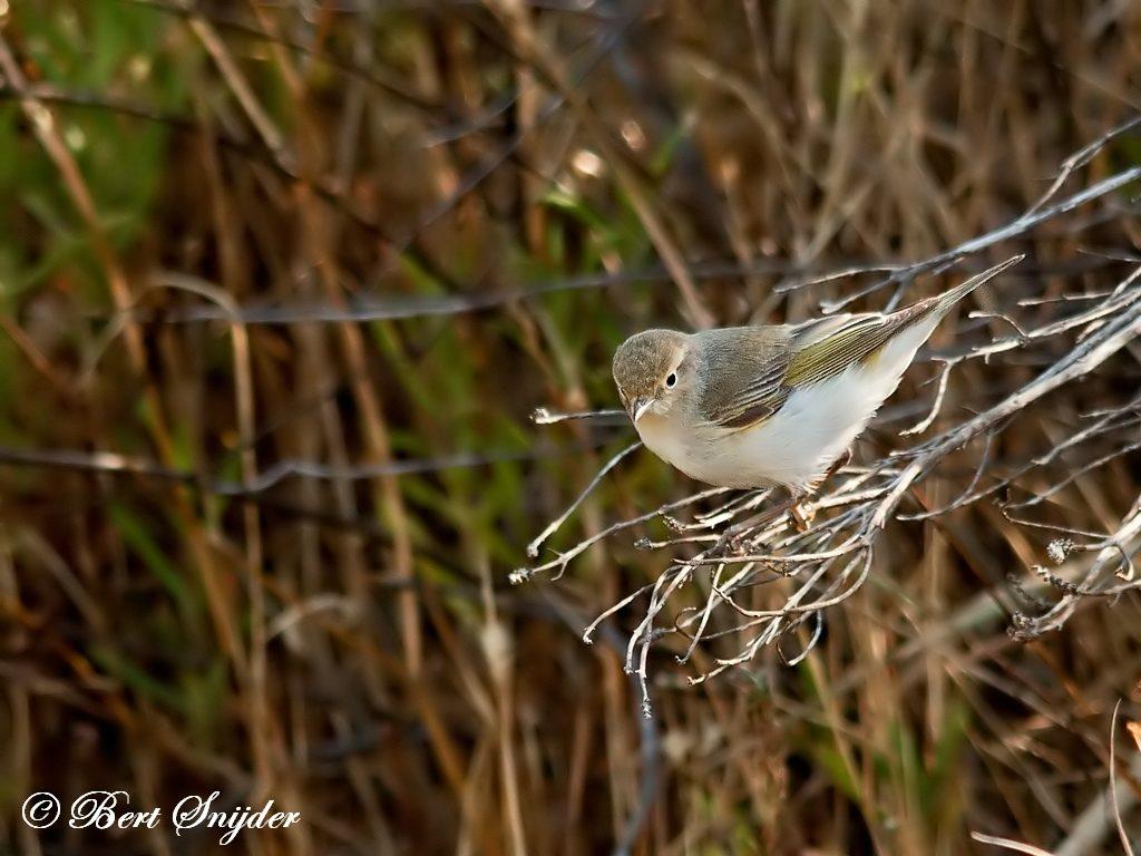 Bergfluiter Vogelvakantie Portugal
