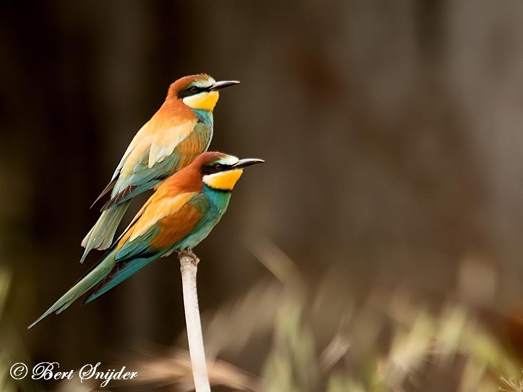Bijeneter Vogelfotografiereis Portugal