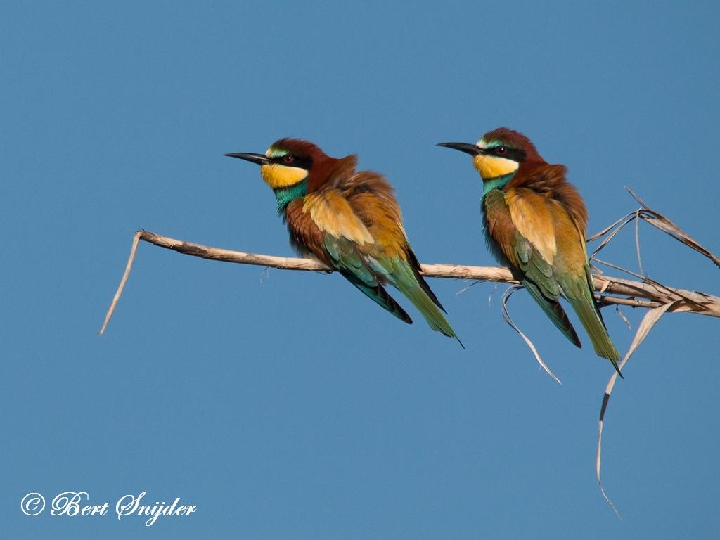 Bijeneter Vogelreis Portugal