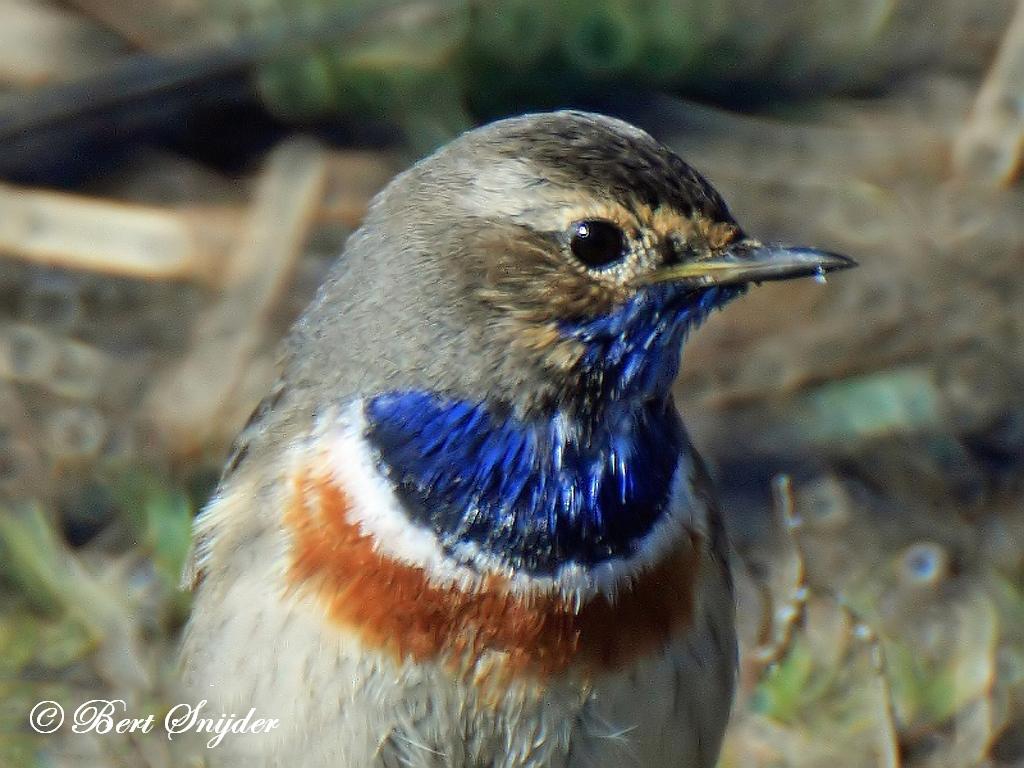 Blauwborst Vogelreis Portugal