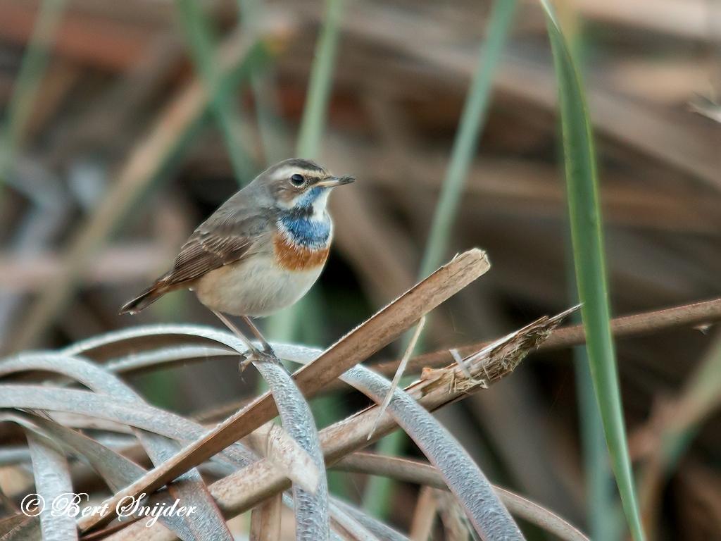 Blauwborst Vogelvakantie Portugal