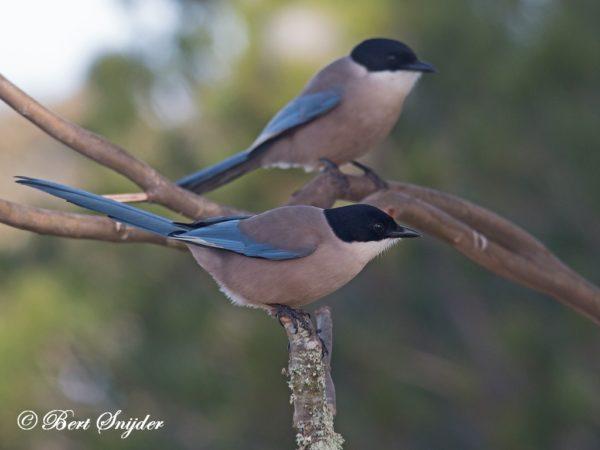 Blauwe Ekster Vogelhut BSP4 Portugal