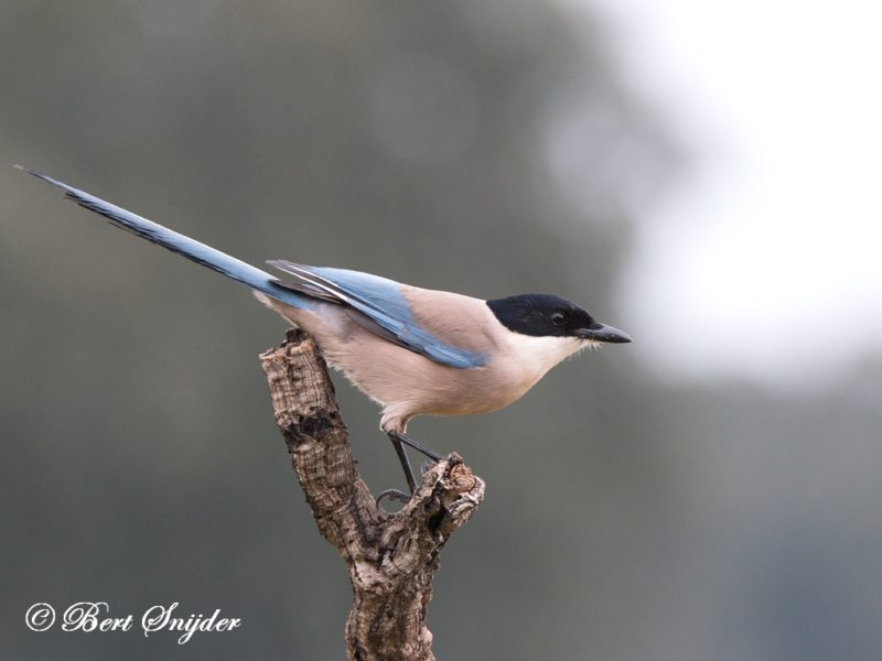 Blauwe Ekster Vogelhut BSP5 Portugal