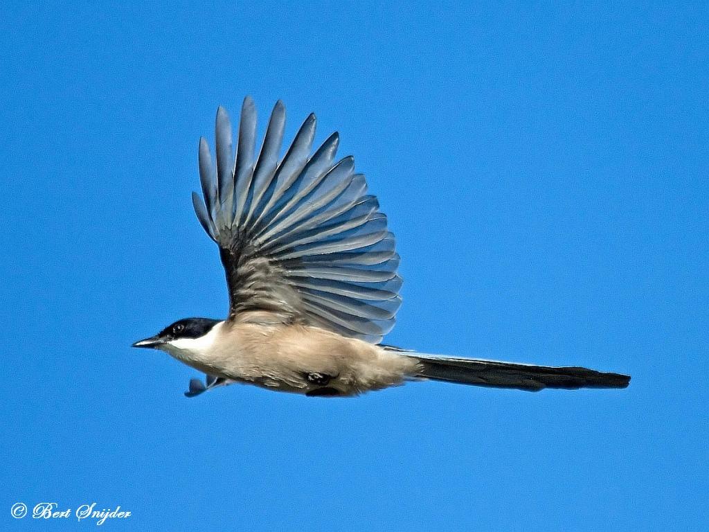 Blauwe Ekster Natuurfotografie Portugal