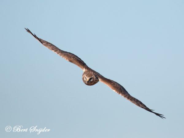 Blauwe Kiekendief Vogelreis Portugal
