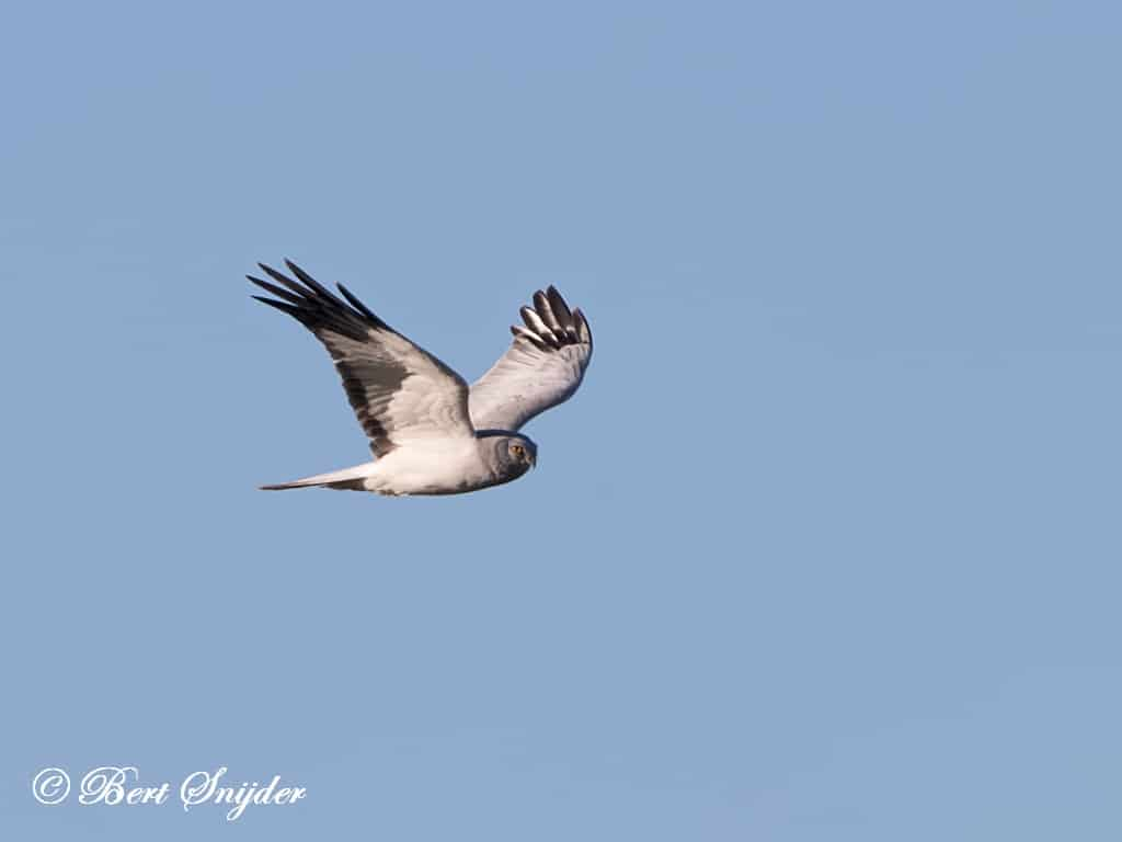 Blauwe Kiekendief Vogelhut BSP7 Portugal