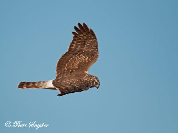 Blauwe Kiekendief Vogelvakantie Portugal