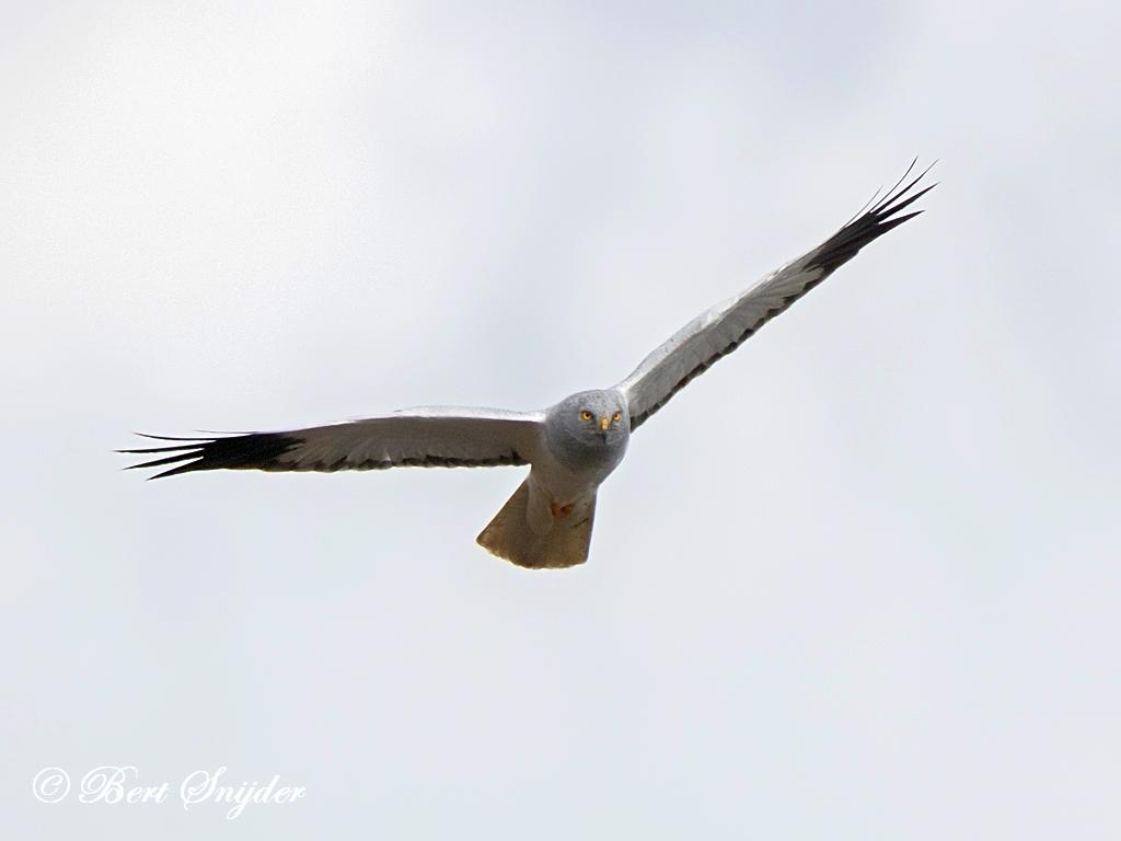 Blauwe Kiekendief Vogelhut BSP2 Portugal