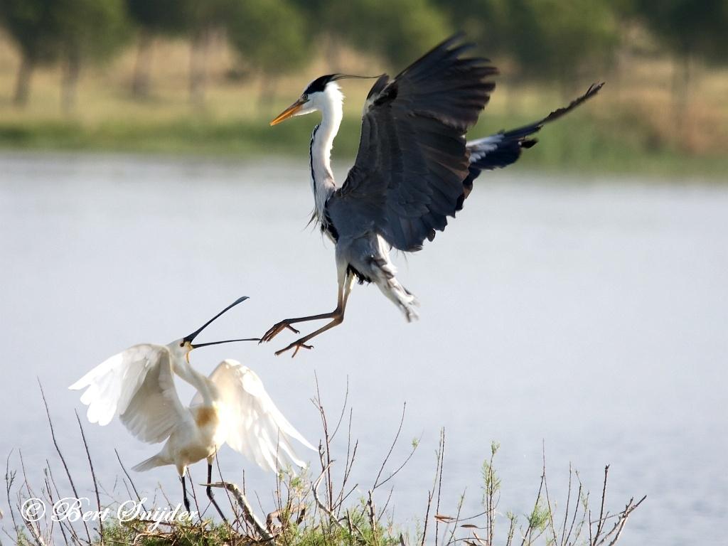 Blauwe Reiger Vogelreis Portugal