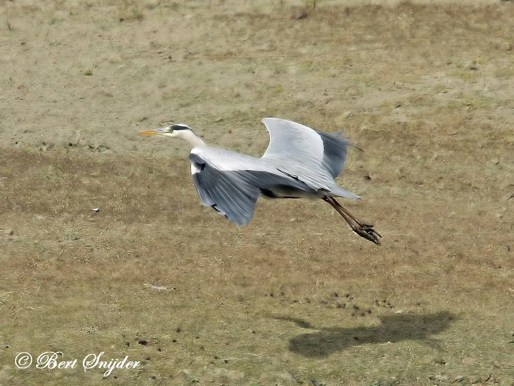 Blauwe Reiger Vogelvakantie Portugal