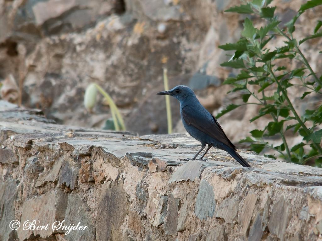 Blauwe Rotslijster Vogelreis Portugal