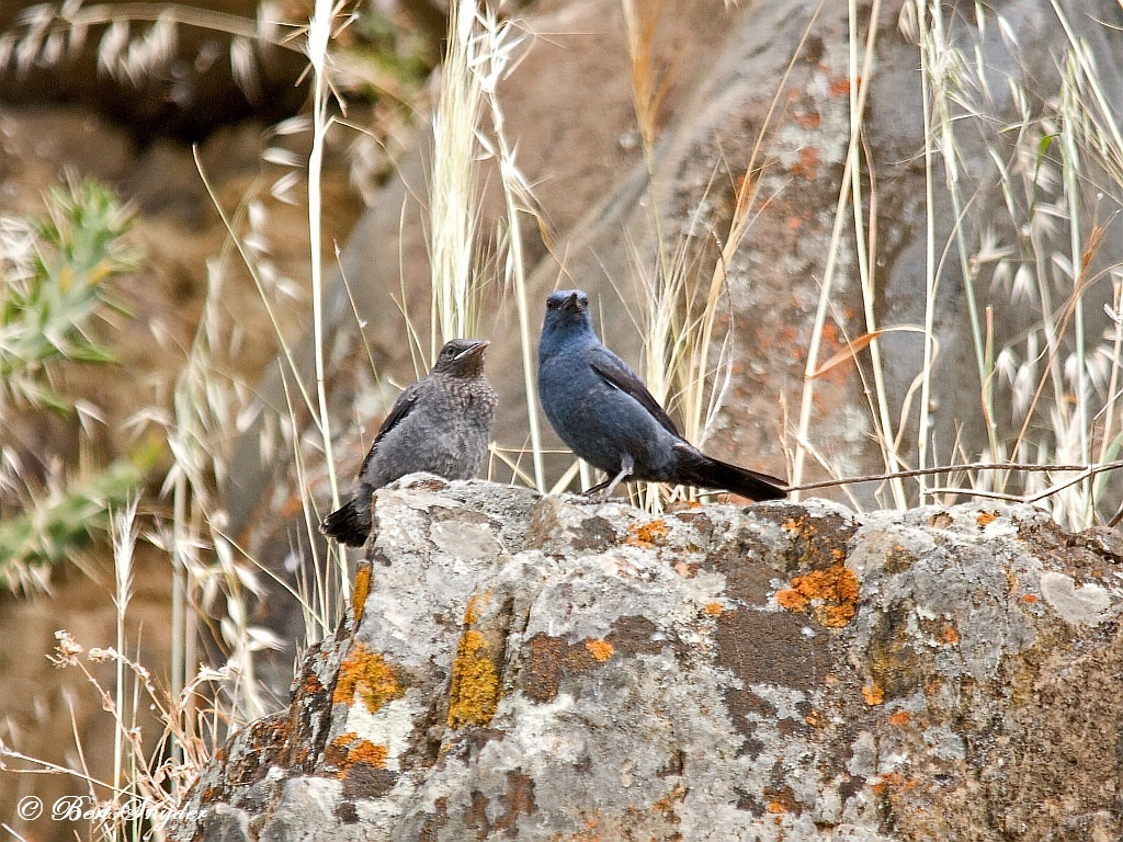 Blauwe Rotslijster Natuurfotografie Portugal