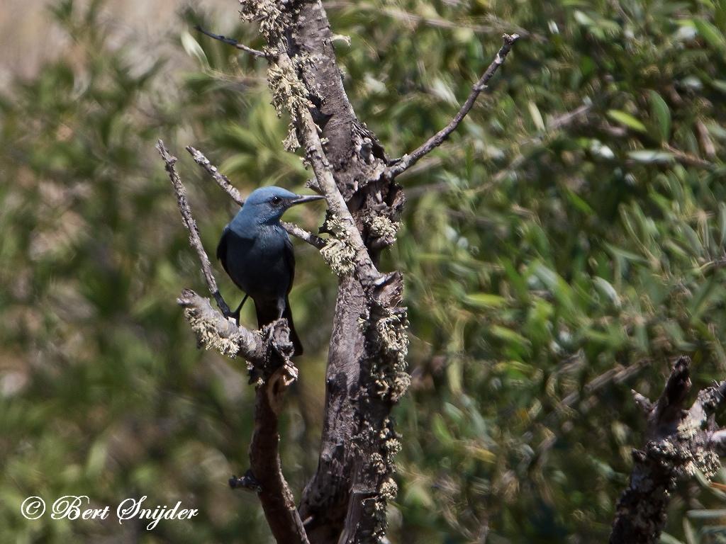 Rotslijster Vogelrvakantie Portugal