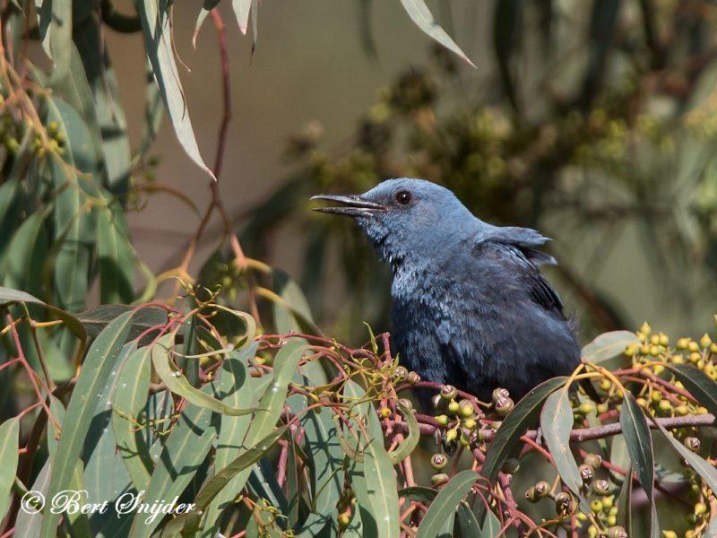 Blauwe Rotslijster Vogelrvakantie Portugal