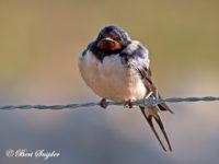 Boerenzwaluw Vogelvakantie Portugal