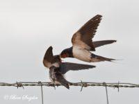 Boerenzwaluw Vogelreis Portugal