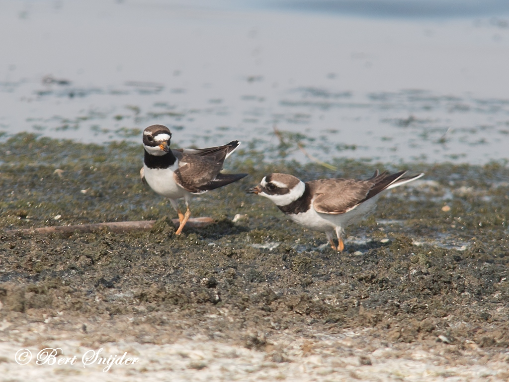 Bontbekplevier Vogelreis Portugal
