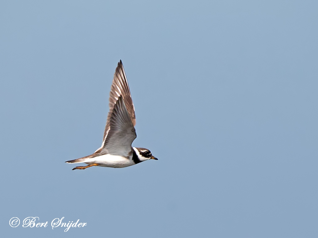 Bontbekplevier Vogelvakantie Portugal