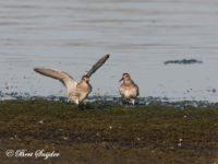 Bonte Strandloper Vogelreis Portugal