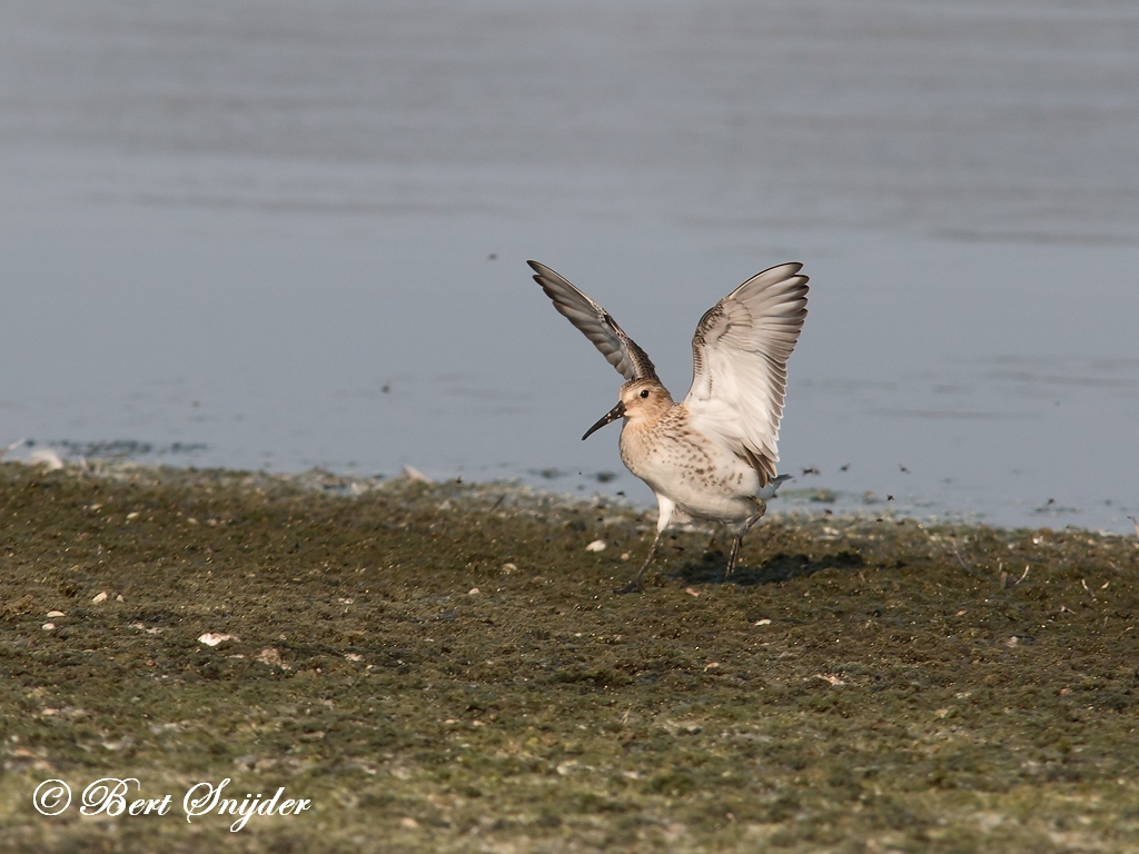 Bonte Strandloper Vogelvakantie Portugal