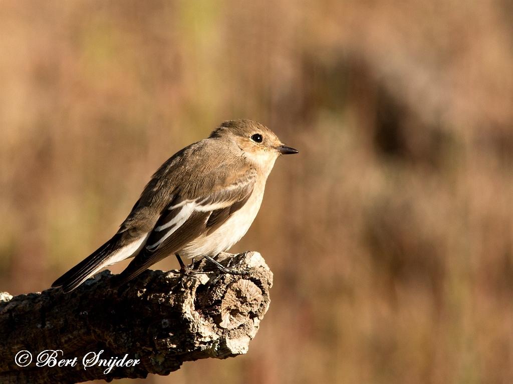 Bonte Vliegenvanger Vogelvakantie Portugal