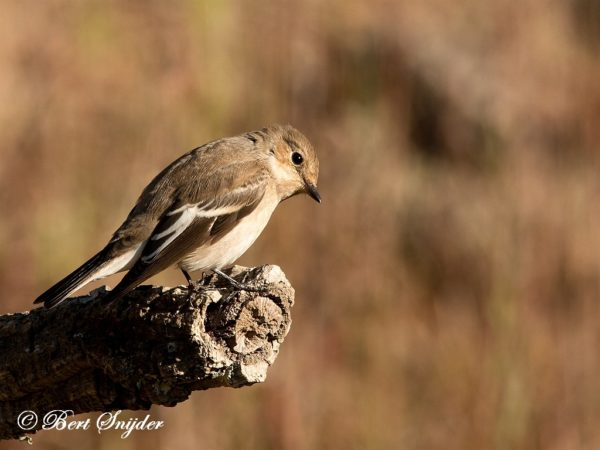 Bonte Vliegenvanger Vogelhut Portugal