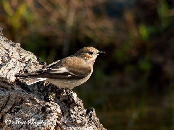 Bonte Vliegenvanger Vogelreis Portugal