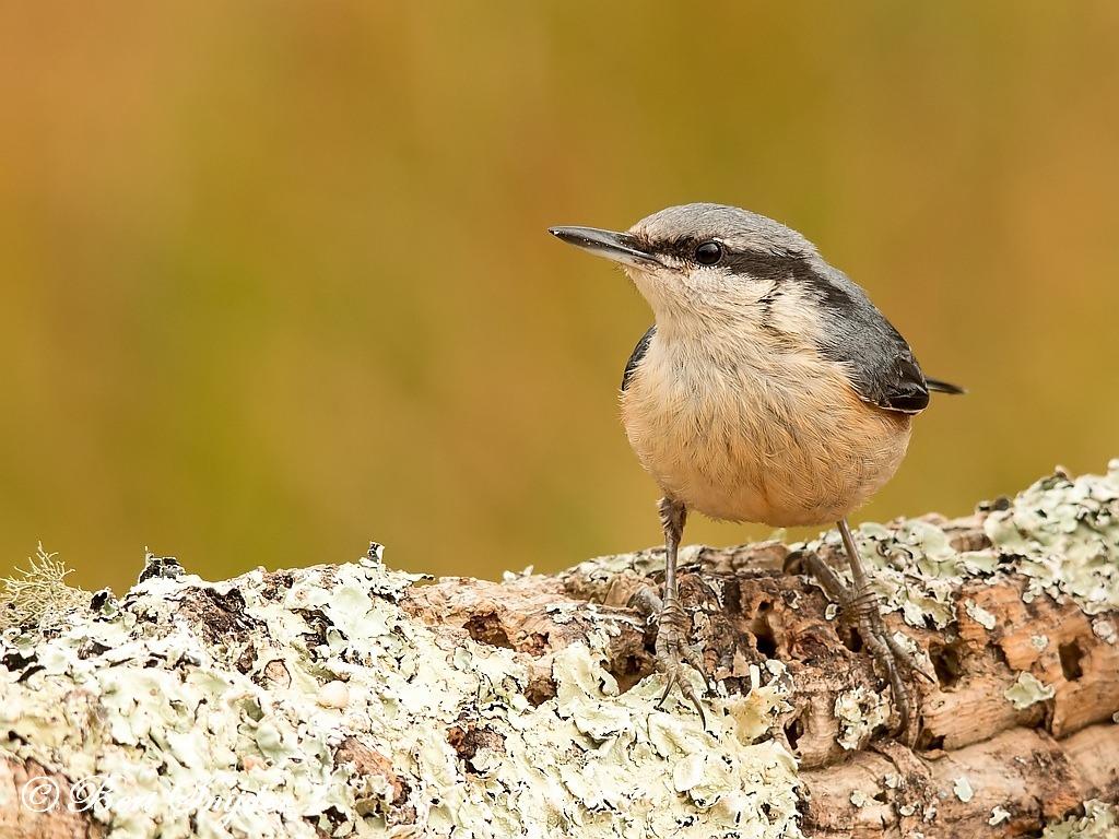 Boomklever Vogelvakantie Portugal