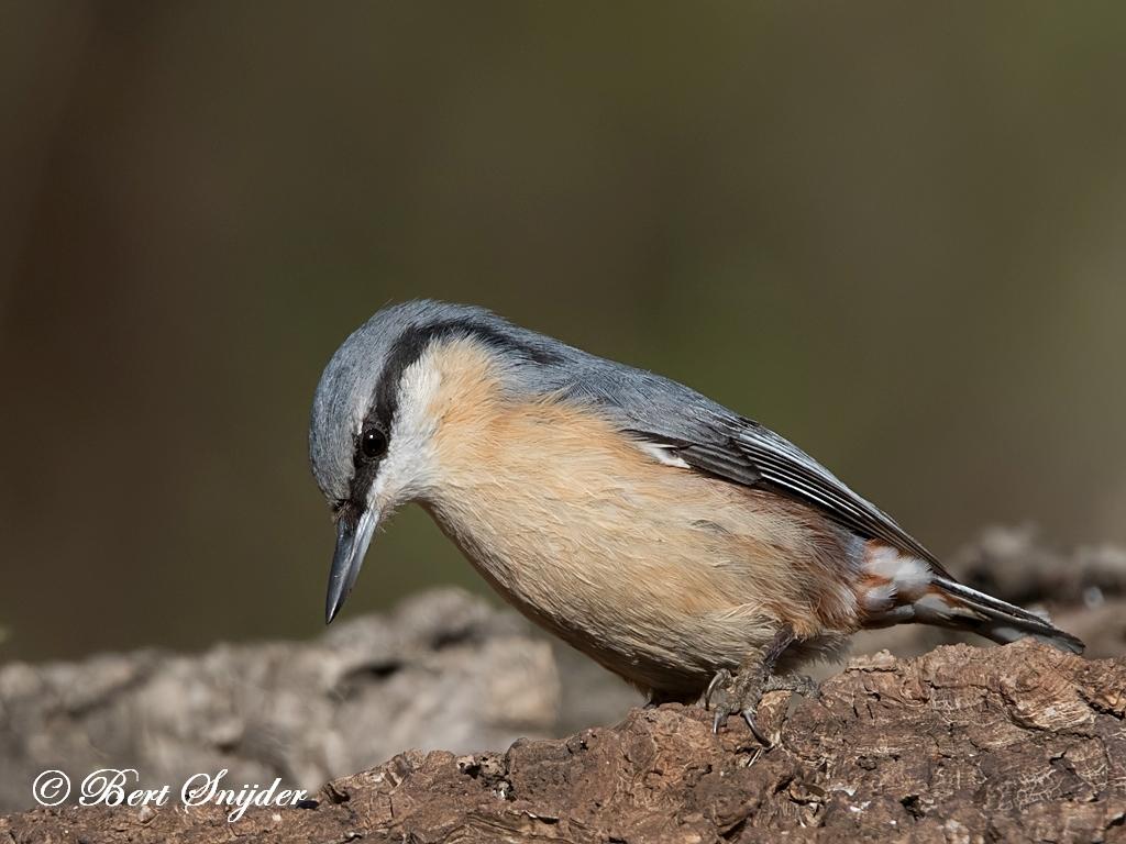 Boomklever Vogels Portugal