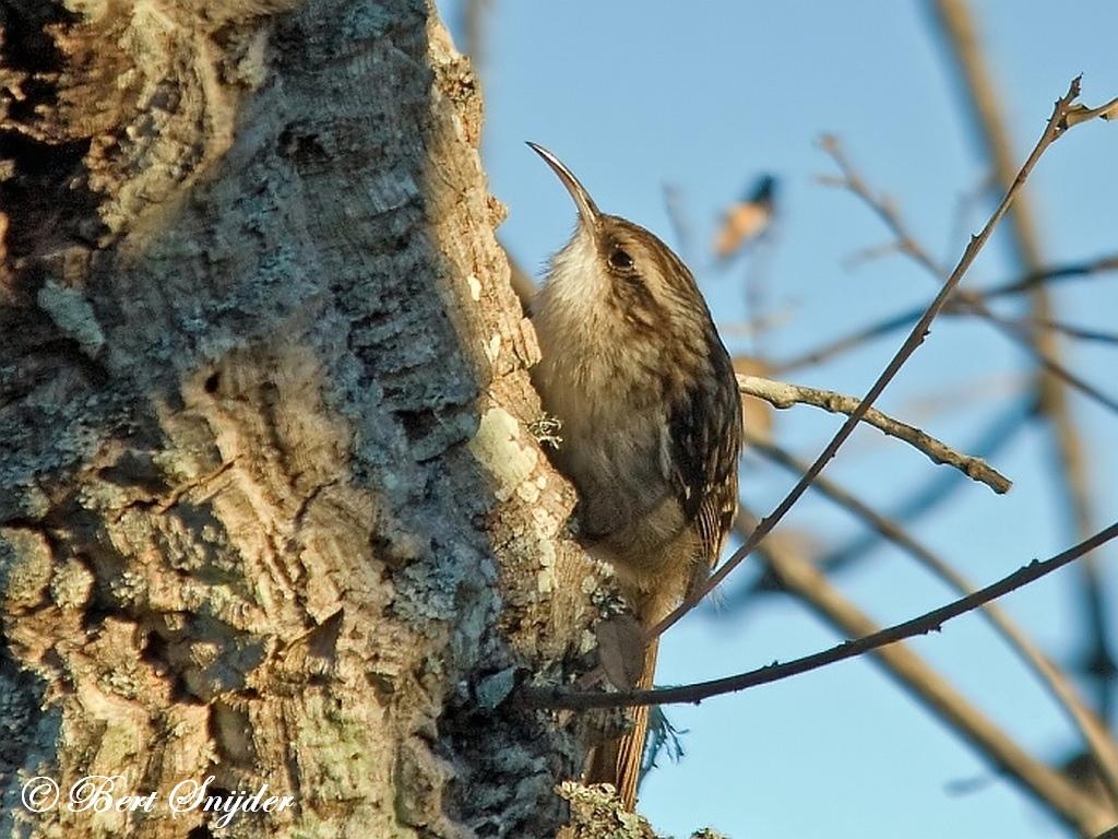 Boomkruiper Vogelreis Portugal