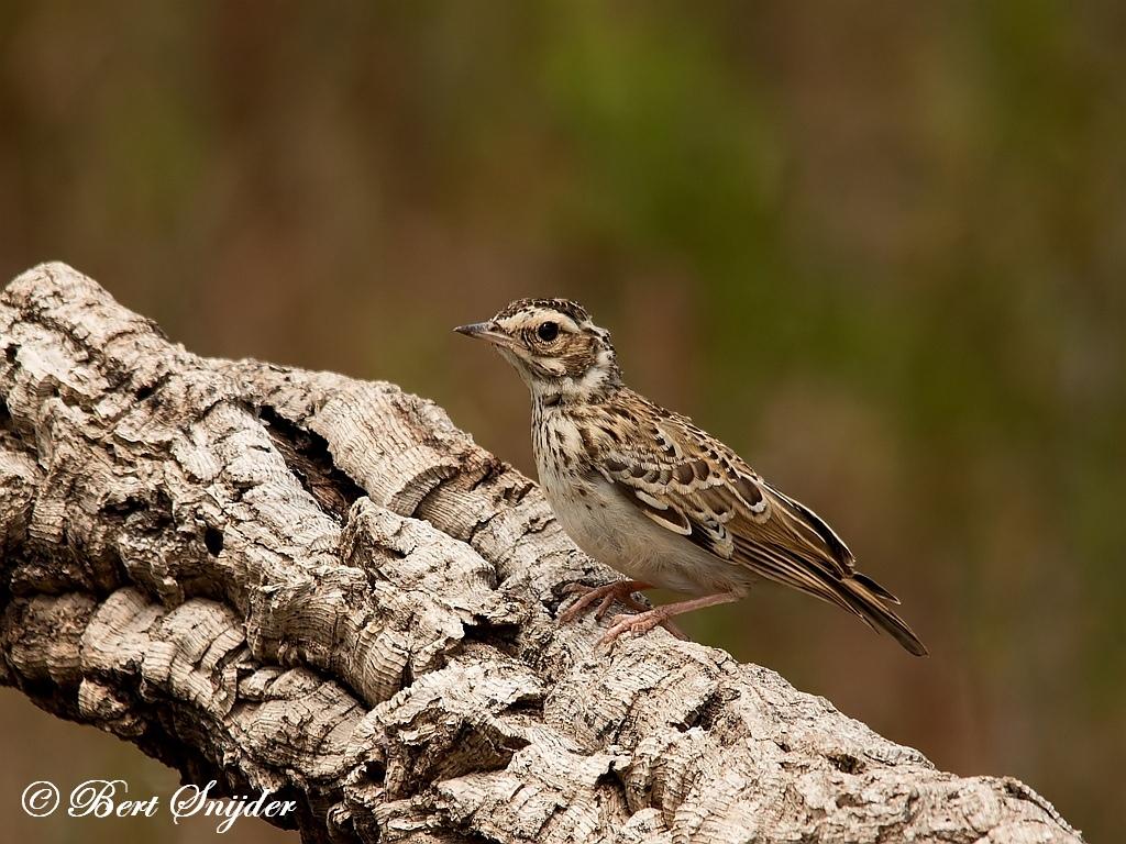 Boomleeuwerik Vogelhut Portugal