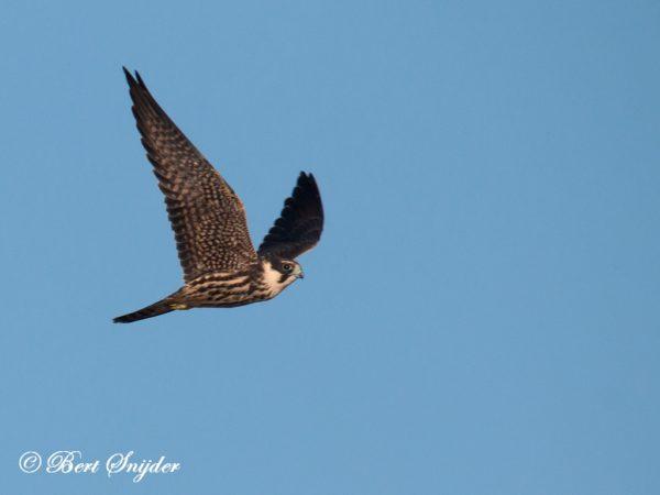 Boomvalk Vogelreis Portugal