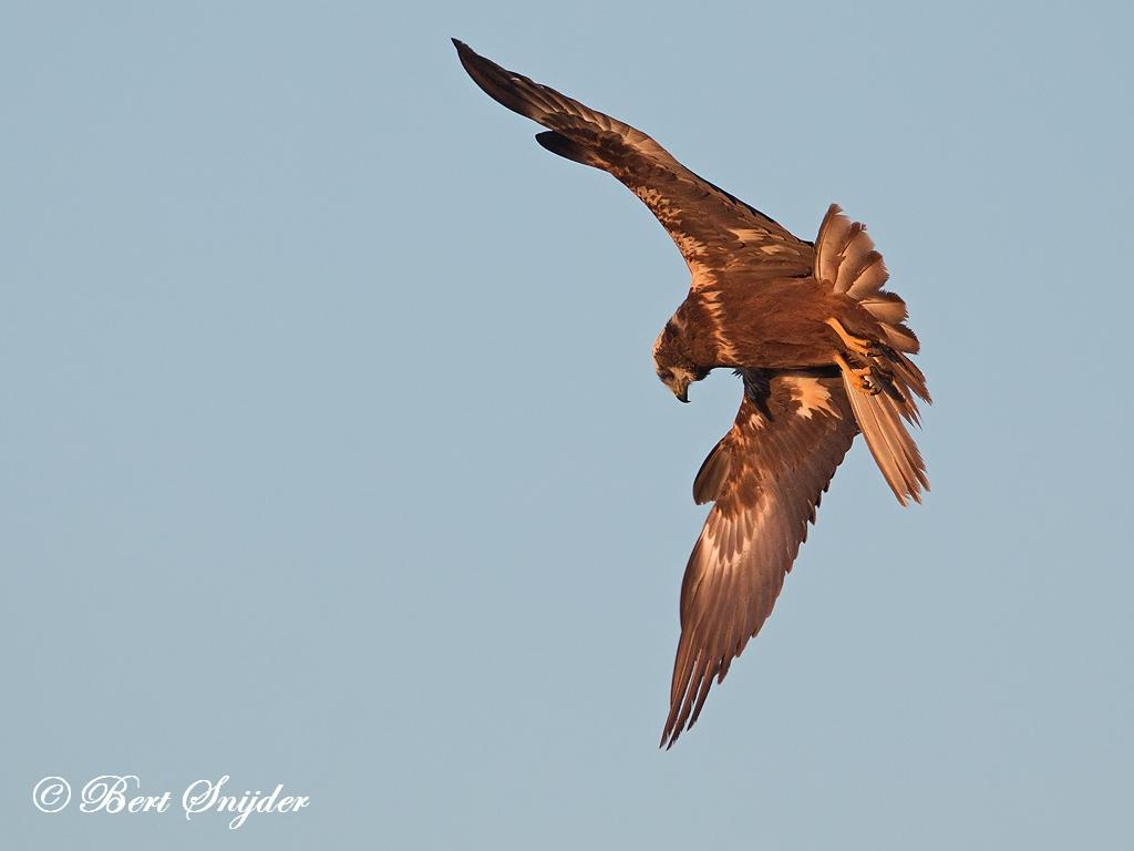 Bruine Kiekendief Vogelkijkhut BSP3 Portugal