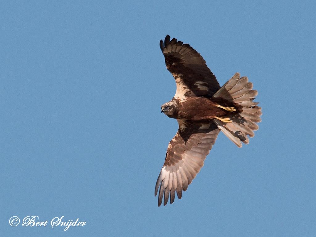 Bruine Kiekendief Vogelreis Portugal