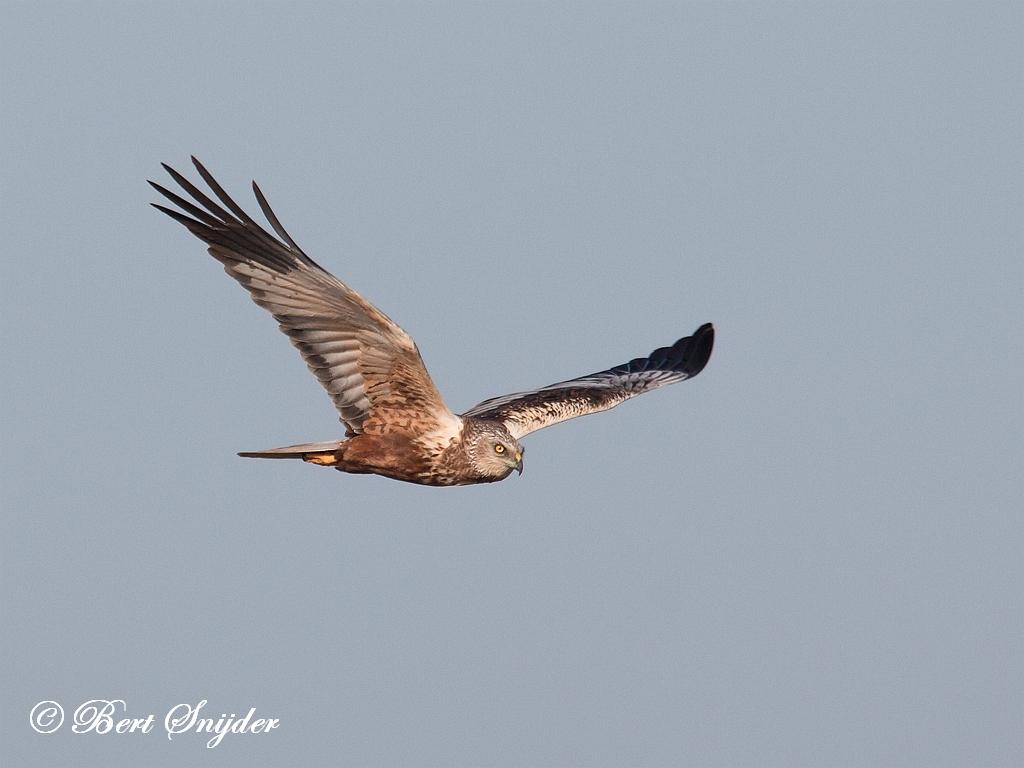 Bruine Kiekendief Vogelvakantie Portugal