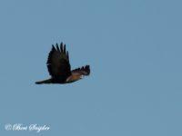Buizerd Vogelvakantie Portugal