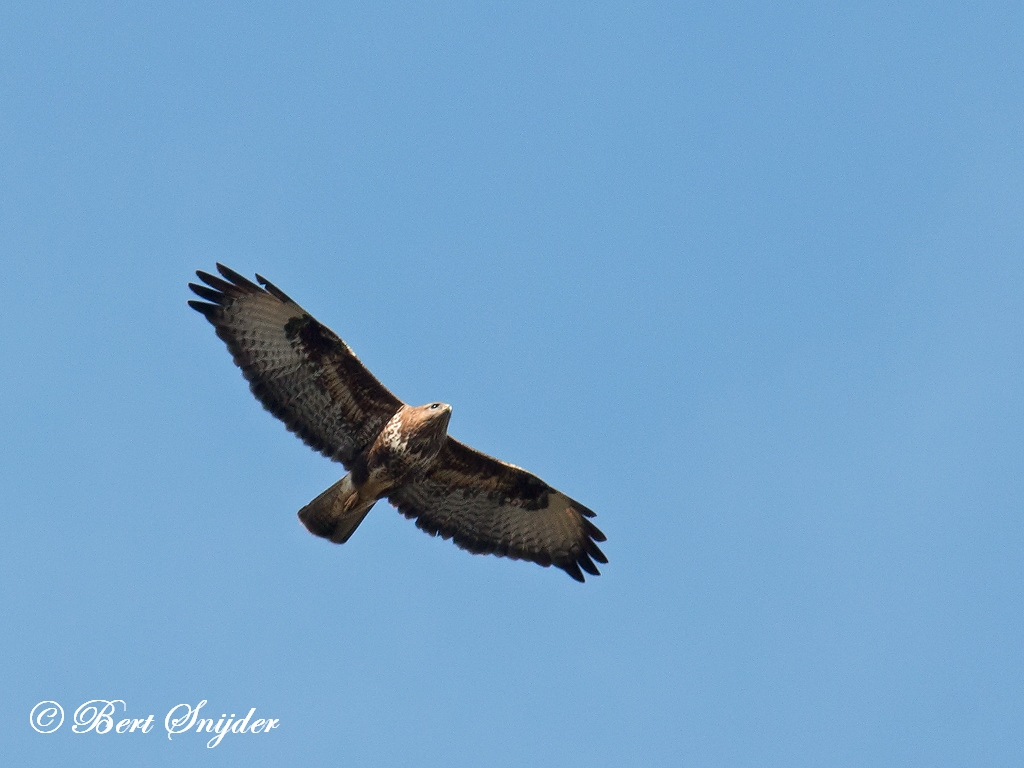 Buizerd Vogelreis Portugal