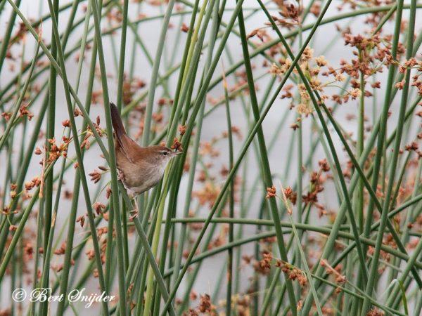 Cetti´s Zanger Vogelvakantie Portugal