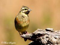 Cirlgors Vogelfotografie reis Portugal