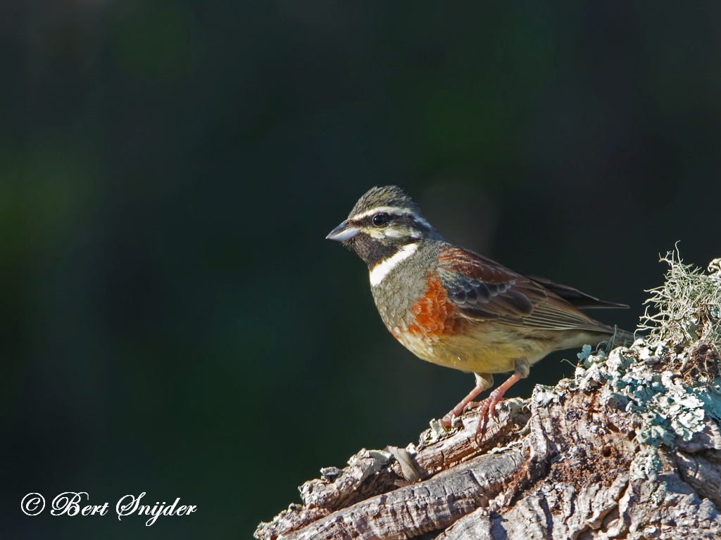 Cirlgors Vogelvakantie Portugal