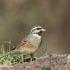 Cirlgors nieuwsbrief vogels in portugal